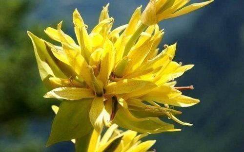 Корень горечавки желтой: свойства, противопоказания к применению