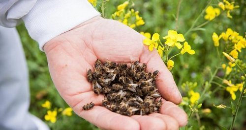 Пчелиный подмор для похудения (3 рецепта, отзывы)