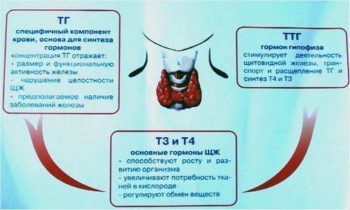 gormony_schitovidnoj_zhelezy_ttg_t3_t4_podgotovka_rasshifrovka_analiza_i_norma-3