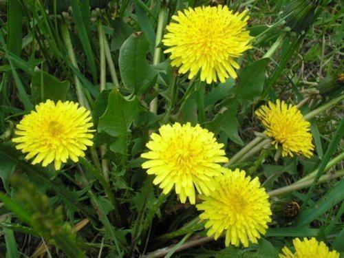lechebnye_svojstva_cvetov_oduvanchika_primenenie_v_narodnoj_medicine-1