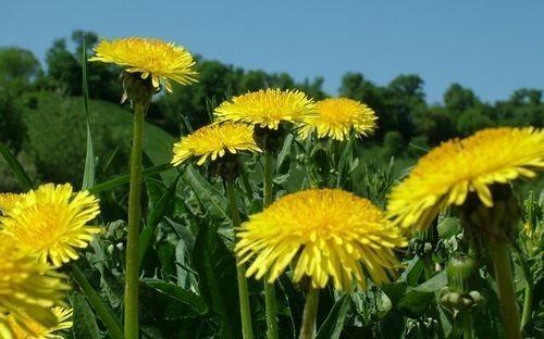 lechebnye_svojstva_cvetov_oduvanchika_primenenie_v_narodnoj_medicine-3