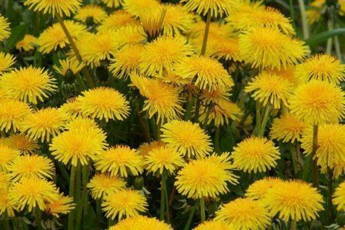 lechebnye_svojstva_cvetov_oduvanchika_primenenie_v_narodnoj_medicine-4