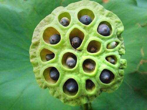 semena_lotosa_poleznye_i_lechebnye_svojstva_primenenie-1