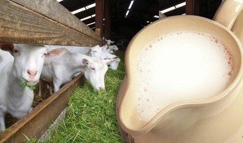 Чем отличается козье молоко от коровьева